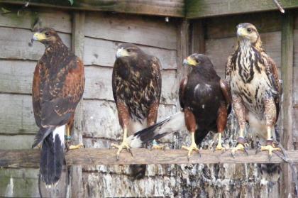 Harris Hawks for Sale