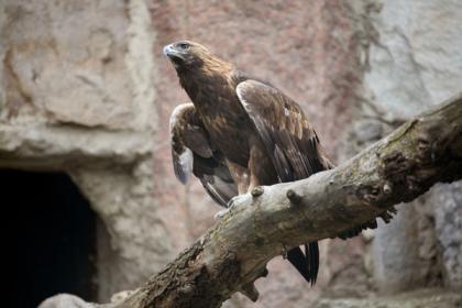 Manchurian Golden Eagle for Sale