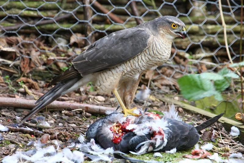 Birds Of Prey Birds For Sale | UK Pets
