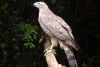 Goshawk Breeding Project