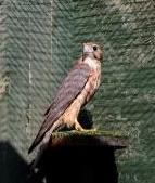 2006 female merlin
