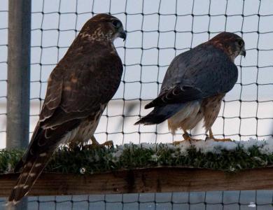 Breeding Pair of Merlins for Sale