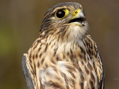 Female Merlin