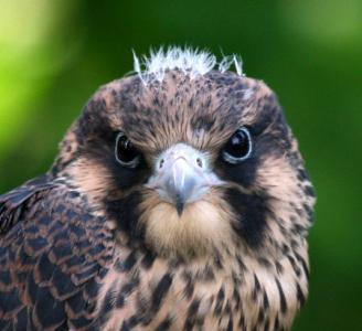Quality Male Scottish Peregrines for Sale