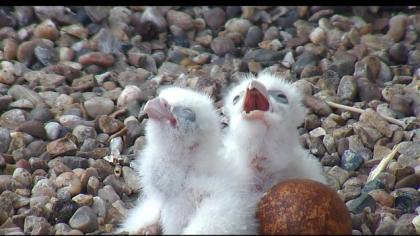 YOUNG FALCONS AVAILABLE