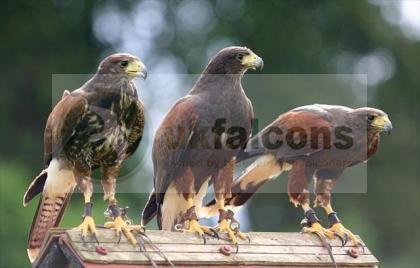 Hunting, Breeding Pair of Harris Hawks