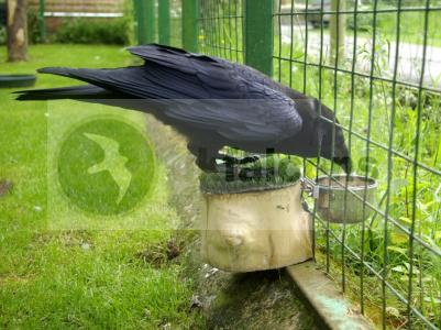 Raven for sale, may exchange