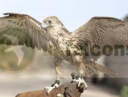 Saker Falcon Pair