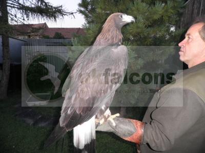 Golden Eagle male for sale