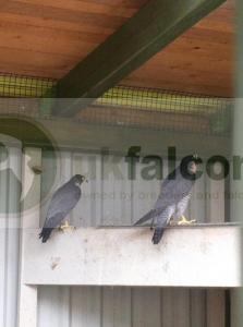 Male and female Peregrine falcons for sale (Breeding pair)