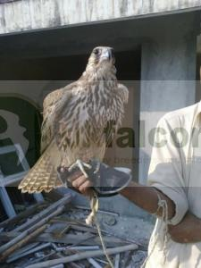 Falcons for sale