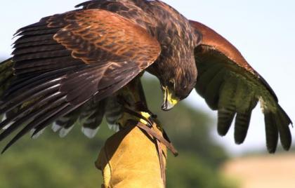 Male Harris Hawk for Hunting