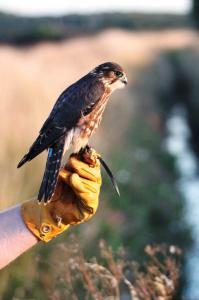 2015 parent reared Female Merlin