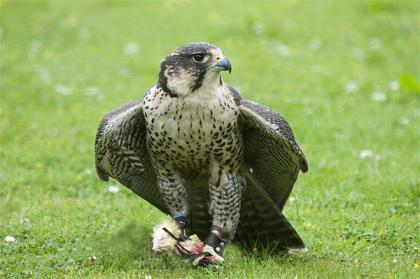 Peregrine Lanner Falcons