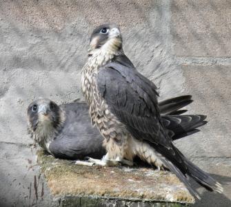 2016 Peregrine Falcons