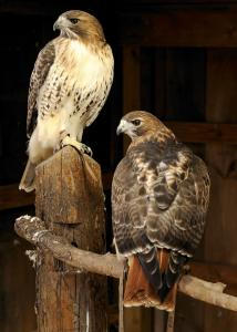 Redtail Pair for Sale