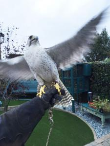 Gyr Peregrine Falcon