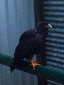 Adult Striated Caracara