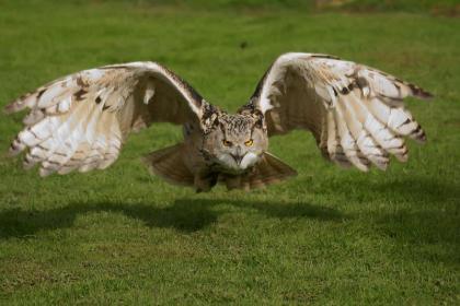 Siberian Eagle Owls