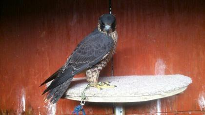 Tiercel Peregrine Born - 2015 - Parent Reared