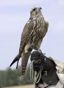 Display Falcons Wanted