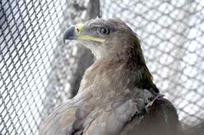 Breeding Steppe Eagles