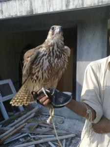 2016 Peregrine Falcons for sale