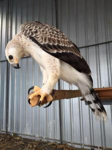 Raptors for sale (Eagles, Hawks and Vultures)