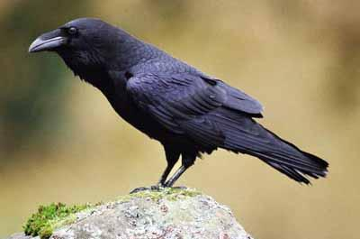 Male Raven Wanted