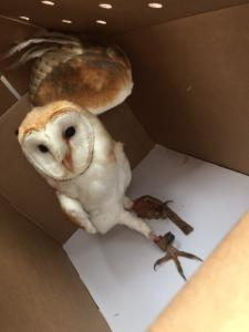 Lost & Found / Barn Owl