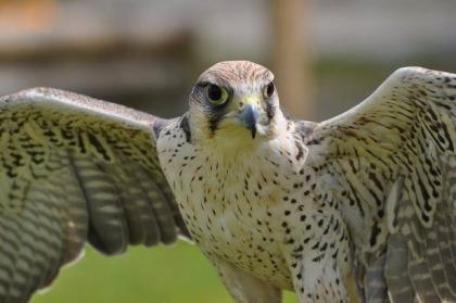 WANTED- Adult female Lanner Falcon