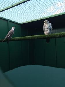 Breeding pair of Gyr x Sakers
