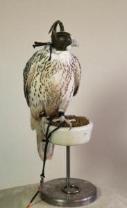 Fantastic Falcons for sale