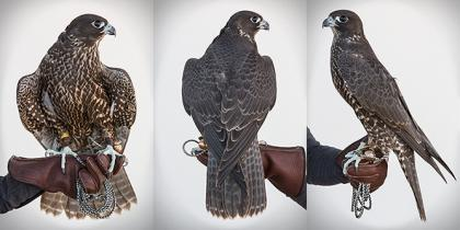 Juvenile Gyr/Peregrine Hybrid Falcons