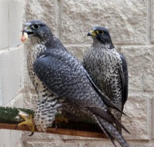 Proven Breeding Pair Scottish Peregrine Falcons
