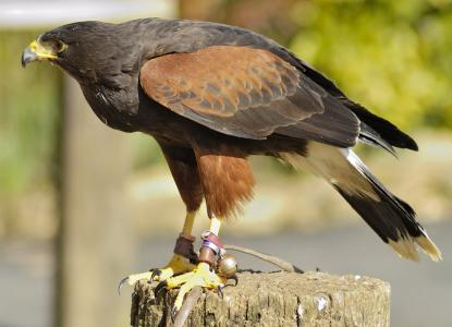 Male Harris Hawk for sale