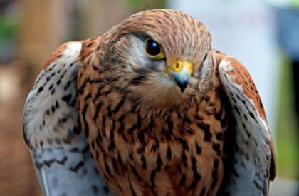 Female European Kestrel for sale