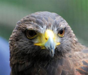 Male Harris Hawk for sale