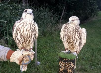 Males and Females Gyr Saker Falcons Light Pair