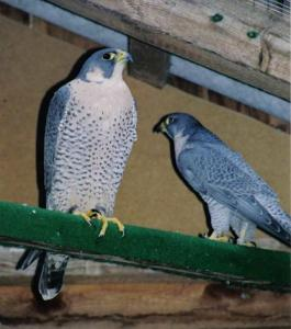 Peregrine falcons for sale - Breeding pair