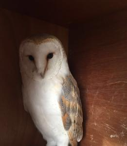 Barn Owl For Sale >> Falcons For Sale Owls For Sale Eagles For Sale Birds For Sale
