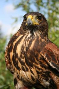 2017 Male Harris Hawk