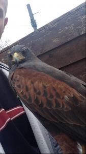 Male Harris hawk £250/ swap