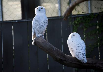 Snow Owl Breeding Pair
