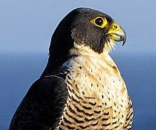Pure Gyr Falcons and Mixed (Peregrine and Gyr Falcons)