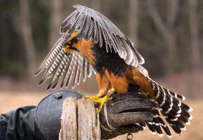 Aplomado Falcons for sale