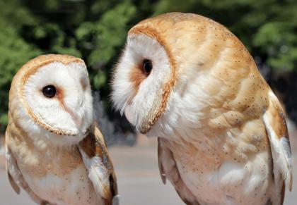 Barn Owl Chicks For Sale In Oldham