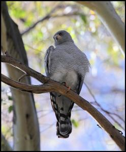 Wanted Breeders of Ovambo Sparrowhawks