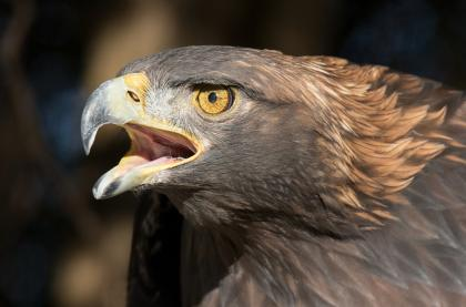 Female Golden Eagle and Ferrutail for sale.