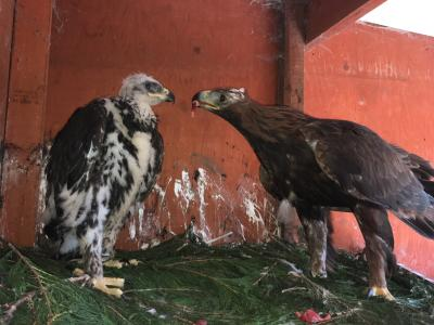 2018 Female Golden Eagle